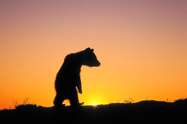 GRIZZLY CUB AT DAWN (Ursus arctos).
