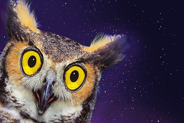 GREAT HORNED OWL composite.